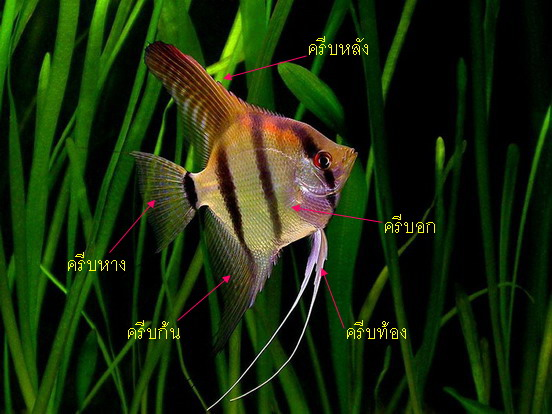 altum angelfish