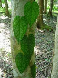Piper maculaphyllum